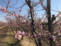 Blossoms4